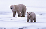 Polar bear mother and cub, Canada