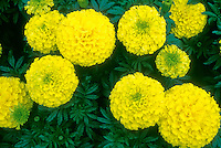 Marigold Inca Yellow Tagetes African American large flowered annual flowers Tagetes x erecta hybrid