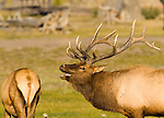 This mature bull elk is attracted to the scent of the cow, who is near estrus, Yellowstone National Park, Wyoming, USA, September 30, 2007. Photo by Gus Curtis.
