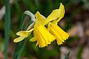 Daffodil (Narcissus 'Garden Princess'), mid March.