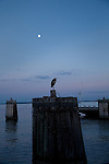 Great Blue Heron sitting on the pilings at Jamestown-Scotland Ferry Wharf on the South side of the James River at Scotland, Virginia at dusk with moon rising in background.