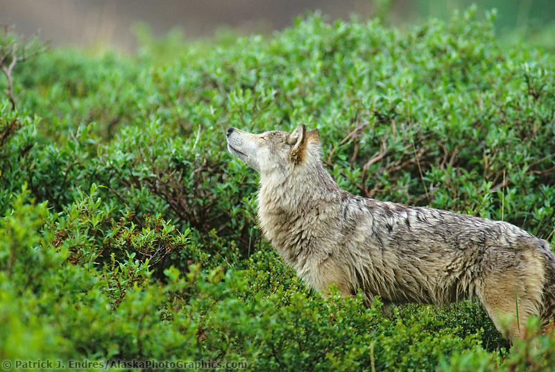 Gray wolf in the summer green willows, Denali National Park, Alaska