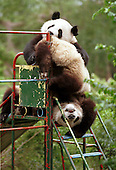 Male panda Yang Yang pushes female panda Lun Lun off a slide as they play at the bush at the Chengdu Panda Base of Giant Panda Breeding. ..The two 1-1/2 year-old pandas, conceived by artificial insemination, were loan to Zoo Atlanta in 1999 for at least ten years.