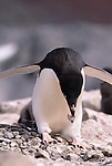 Adelie penguin builds its nest, Antarctica