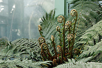 Tropical Rainforest Glasshouse (formerly Le Jardin d'Hiver or Winter Gardens), 1936, René Berger, Jardin des Plantes, Museum National d'Histoire Naturelle, Paris, France. Detail of tubercles unfurling on Cyatheales plants by the fountain outside the Glasshouse. Through the windows luxuriant Tropical vegetation is visible inside the Glasshouse lit by the hazy afternoon light.