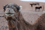 A camel is photographed in the Erg Chegaga region of the Sahara in Morocco.