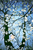 Dogwood blossoms lit by late afternoon sun