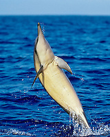 Spinner Dolphin (Stenella longirostris longirostris) tail-walking, Kona Coast, Big Island, Hawaii, USA, Pacific Ocean