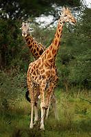 Rothschild Giraffes in Murcheson Falls National Park in northwestern Uganda. (Rick D'Elia)