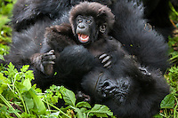A three month-old gorilla demands attention from his mother while she tries to take a nap in the jungle of Rwanda's Virunga Mountains.