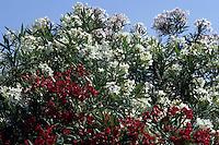 Pianta di oleandro. Oleander plant......