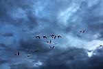 Flamingos (Phoenicopteridae) flying against dark cloudy sky.