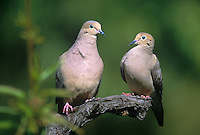 518180034 a wild pair of mourning doves zenaida macroura perch on a tree limb in a tree in los angeles county california