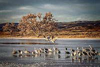 A small group of sandhill cranes wade in an icy pond at Bosque del Apache National Wildlife Refuge while two other cranes take wing to fly off to the nearby fields where they will spend the day foraging.