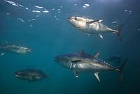 southern bluefin tuna photos