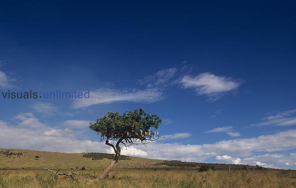 Sausage Tree on the savanna ,Kigelia africana,, Kenya, Africa.