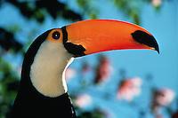 Portrait of a Toco toucan (Ramphastos toco).