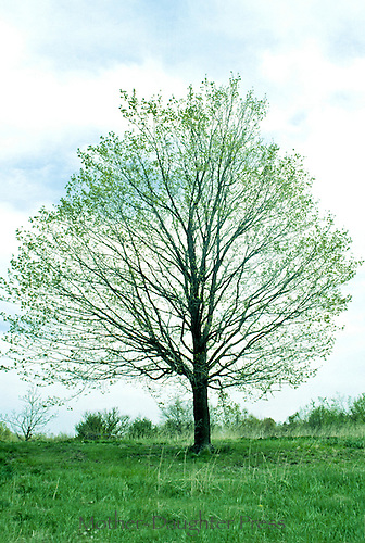 Sugar maple tree, Acer saccharum,in spring in green meadow