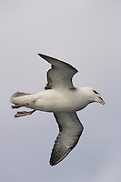 Bird Lone Northern Fulmar Fulmarus glacialis gliding over sea Bellsund Spitzbergen Arctic Norway Barents sea North east Atlantic
