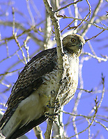 REDTAIL HAWK EYES ON