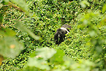 Gorilla trekking, Bwindi, Uganda.  .A silverback gorilla, the male leader of the family, forages on a facing hillside in Bwindi Impenetrable Forest.