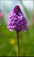 BNPS.co.uk (01202) 558833<br /> Picture: PhilYeomans/BNPS<br /> <br /> Wild orchid.<br /> <br /> Long hot summer a boost for the bee man of Salisbury Plain.<br /> <br /> One of Britains last wilderness area's is a hive of activity this summer as an army of busy bees swarm across Salisbury plain in Wiltshire.<br /> <br /> Major Chris Wilkes commands an astonishing 8 million bees in 150 hives dotted across the unique enviroment of the plain. The chalkland host's an amazingly wide range of rare wildflowers as 60,000 acres of SSSI have never been treated with modern pesticides.<br /> <br /> The wet winter and dry spring have produced perfect conditions for the diverse flora of the grasslands, with the isolation of the plain creating a cornucopia of the top nectar flowers in the UK  producing a honey with the distinctive flavour of one of Britains last wilderness areas.