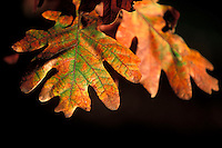 Oak tree leaves near the University of Wisconsin's Picnic Point change colors during autumn.<br /> <br /> Client: University of Wisconsin-Madison<br /> &copy; UW-Madison University Communications 608-262-0067<br /> Photo by: Michael Forster Rothbart<br /> Date: 10/01     File#:   color slide.