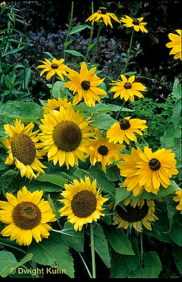 HS13-064z  Sunflower -  Helianthus spp.