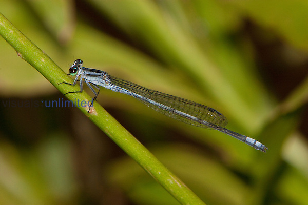 Sprite Damselfly male perched (Pseudagrion kersteni), South Africa.