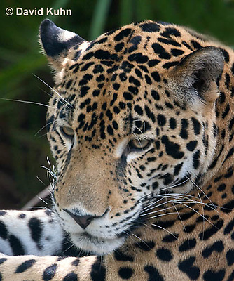 0615-1107  Jaguar, Belize, Panthera onca  © David Kuhn/Dwight Kuhn Photography
