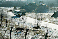 Tigers walk across a snow-covered enclosure as a tour bus filled with tourists drives along a road in the Siberian Tiger Park in Haerbin, Heilongjiang, China. The Siberian Tiger Park is described as a preserve to protect Siberian tigers from extinction through captive breeding.  Visitors to the park can purchase live chickens and other meat to throw to the tigers.  The Siberian tiger is also known as the Manchurian tiger.
