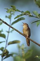 Schlagschwirl, singend, Schlag-Schwirl, Locustella fluviatilis, river warbler