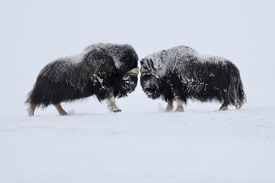 dovrefjell national park , norway, february,