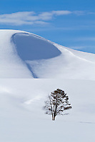 Lone pine during winter in Yellowstone National Park
