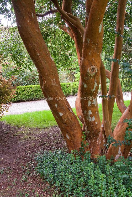 Luma apiculata AGM