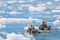 Sea otters swim among floating ice bergs, Harriman Fjord, Prince William Sound, southcentral, Alaska.