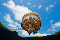 RH1106-D. Golden Jellyfish (Mastigias papua), perhaps Mastigias papua etpisoni, in world famous Jellyfish Lake, Palau. Millions of these jellies live in an isolated marine lake in the Rock Islands. Over time and in the absence of abundant predators, their stinging cells have lost most of their potency, and as a result, are generally harmless to people. Some scientists believe this may be a subspecies of the tropically widespread Spotted Jellyfish, others feel it may be a distinct species.<br /> Photo Copyright &copy; Brandon Cole. All rights reserved worldwide.  www.brandoncole.com