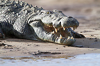 A Nile crocodile at the water's edge, Zambia, Africa