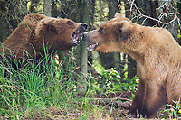 Two female brown bears prepare for a fight at the edge of a forest along the Brooks River, Katmai Natioanal Park, Alaska