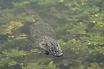 Columbia Ranch, Brazoria County, Damon, Texas; a baby American Alligator (Alligator mississippiensis) floating at the water's surface amongst the duck weed in the slough