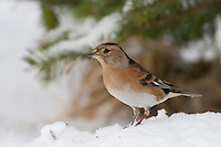 Bergfink, Berg-Fink, im Schlichtkleid, Fringilla montifringilla, brambling, Pinson du Nord