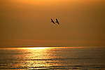 Two eagles fly over the waters of Southeast Alaska at sunset.