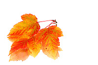 Beautiful fall coloured maple leaves mirrored on a white background