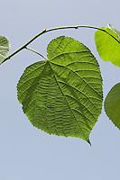 Sommerlinde, Sommer-Linde, Linde, Blätter, Blatt vor blauem Himmel, Blattunterseite, Tilia platyphyllos, Large Leaved Lime, Linden
