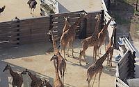 Girafes de l'Ouest (Girafa camelopardalis antiquorum), vues du dessus, Zone Sahel-Soudan, new Parc Zoologique de Paris, or Zoo de Vincennes, (Zoological Gardens of Paris, also known as Vincennes Zoo), Museum National d'Histoire Naturelle (National Museum of Natural History), 12th arrondissement, Paris, France. Picture by Manuel Cohen