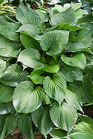 Hosta ventricosa, species perennial foliage plant, all green ribbed leaves growing in garden showing plant habit, with variegated hosta. Species