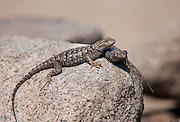425900006 a pair of wild great basin fence lizards sceloporus occidentalis longipes perches on a large granite rock in the buttermilks along the eastern sierras in inyo county california