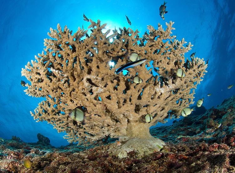 reticulate humbugs: Dascyllus retriculatus gather under stone coral, Fathers reefs, Kimbe Bay