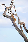 Leopard, Panthera pardus, in tree, Kruger national park, South Africa