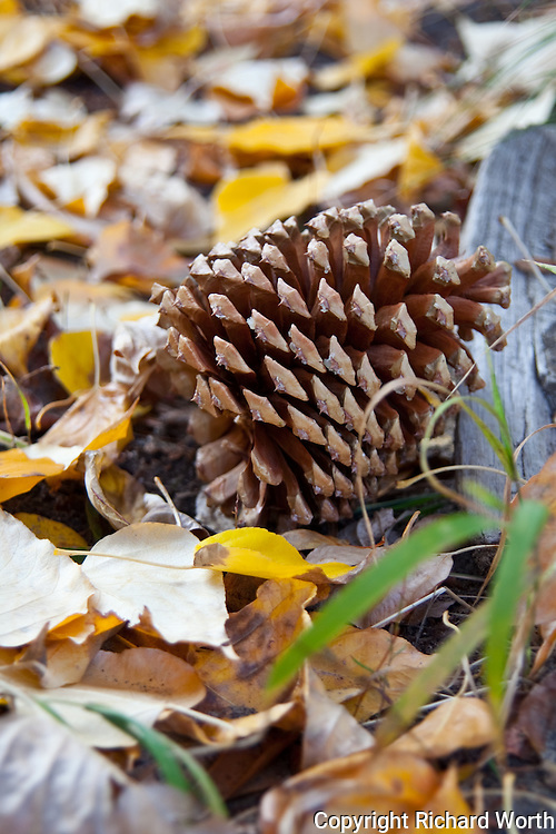 A pine cone lies on the ground, open and empty of its seeds, at Cisco Grove Gould Park in the Sierra.
